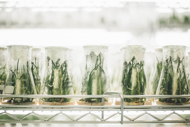 plantas cultivada en labo